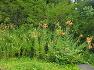 대구수목원에 영양제 강장제 해소 천식에 좋고 슬픈 전설이 깃든 한국 원산지 참나리(백합),꽃,효능,전설.
