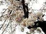 청풍호 벗꽃축제 취소 - 사진으로만 보세요.