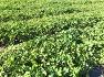 방풍모종  방풍나물모종 판매 / 1년생 방풍 종근 종묘 판매합니다. 방풍 뿌리 모종 파는곳 성거산농원