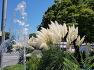 대구시 동인네거리 분수대 주변에 갈대도 아니고 억새도 아닌 웅장하고 거대한 팜파스그라스,꽃.